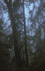 Hemlocks and Mist (jvde) Tags: 3570mmf3345nikkor burnaby coolscan film fujicolor400 gimp nikonfe