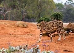 (Laszlo Papinot) Tags: werribeeopenrangezoo werribee cheetah animals zoosvictoria zoo kulinda bornoctober2012