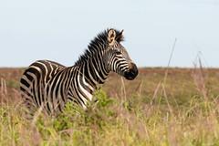 Stripes (zimpetra) Tags: africa nyika malawi mammal zebra stripes