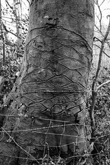 Fence (Spannarama) Tags: porlock exmoor somerset uk woods woodland fence scars scarred marked bark tree pattern