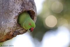 Psittacula krameri (Fernando_Iglesias) Tags: sri lanka ceylon