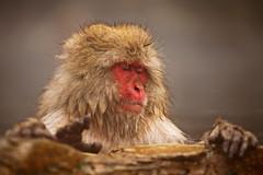Monkey Enjoying Onsen (Vera Rong Wang) Tags: japan monkey monkeyonsen jigokudani 地獄谷野猿公苑 nagano 長野