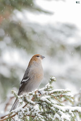 ''Éblouie!'' Durbec des sapins-PIne gorsbeak (pascaleforest) Tags: oiseau bird animal passion nikon nature wild wildlife faune québec canada snow neige forest forêt
