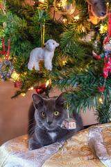 "Sammy says ""Happy New Year!!"" (Reid Northrup) Tags: cat pet christmas christmastree nikon reidnorthrup holiday decorations"