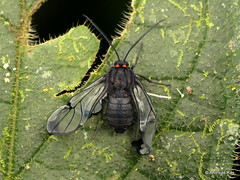 Tiger moth (Ecuador Megadiverso) Tags: andreaskay arctiidae ecuador erebidae moth tigermoth
