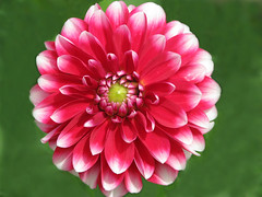 Holiday Blossom (Cher12861 (Cheryl Kelly on ipernity)) Tags: flower macro closeup petals holiday beauty red