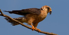 R91A9386 (chavko) Tags: jozefchavko canon flickr bird hawk chavko falco vespertinus redfooted falcon slovakia sky animal photo tree forest people