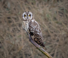 "Another Shortie ""ear tufts up"" (Steve D'Cruze) Tags: short eared owl asio flammeus nikon d500 sigma wildlife nature"