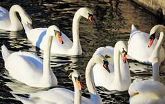 6Q3A7853 (www.ilkkajukarainen.fi) Tags: swam joutsen birds linnut life happy travel travelling visit stockholm tukholma sea meri havet water vesi white valkoinen vita kyhmy