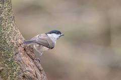Marsh Tit (Gareth Keevil) Tags: bird birds detail feather garethkeevil gloucestershire higham lbj marshtit nikon nikon500mm nikond500 rspb telephoto tit uk wild winter