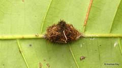 Basket cocoon of a Tiger moth caterpillar? (Ecuador Megadiverso) Tags: andreaskay arctiidae basketcocoon ecuador erebidae jardinbotanicolasorquideas pupa tigermoth