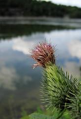 thistle (helena.e) Tags: helenae flower blomma tistel thistle water vatten reflection spegling trollhättan moln loud explore