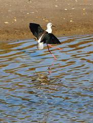 Black-winged Stilt (Wild Chroma) Tags: himantopus himantopushimantopus stilt birds nonpasserines waders ludo faro algarve riaformosa portugal