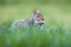 Nuts (alanrharris53) Tags: grey squirrel grass feeding bokeh mammal rodent treerat wildlife bourne lincs