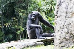 Chimpanzee (Synghan) Tags: chimpanzee monkey primate macaque animal ape nature natural wild wildlife single one behavior mammal sitting resting blackhair hairy photography horizontal outdoor colourimage fragility freshness nopeople foregroundfocus adjustment interesting awe wonder fulllength depthoffield vivid sharpness waiting eating feeding tranquility peace singaporezoo singapore zoo zoology cute head headshot canon eos80d 80d tamron 18270mm f3563 침팬지 동물 원숭이 싱가포르 동물원