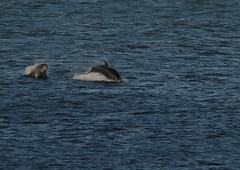 IMG_5427 (monika.carrie) Tags: monikacarrie wildlife scotland aberdeen dolphins dolphin cetacean mammals