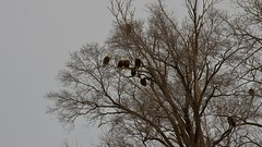 Flocking Eagles (matttimmons1) Tags: bald eagle bird raptor tree perched nature natural beauty