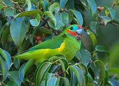 Double-eyed Fig Parrot (Cyclopsitta diophthalma) (Gavin Edmondstone) Tags: cyclopsittadiophthalma doubleeyedfigparrot parrot bird athertontablelands queensland australia
