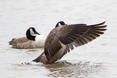 7K8A1136 (rpealit) Tags: scenery wildlife nature edwin b forsythe national refuge brigantine canada geese bathing goose bird