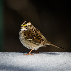 Between the dark and the light (Fred Roe) Tags: nikond7100 nikonafsnikkor200500mm156eed nature naturephotography national birds birding birdwatching birdwatcher sparrow whitethroatedsparrow zonotrichiaalbicollis peacevalleypark colors flickr outside animals
