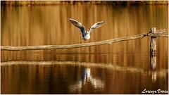 2R3A5264-1 (Sir George R. F. Edwards) Tags: canon 7dmarkii bird landscape panorama overview lake massaciuccoli germano reale duck cormorano sunset wildlife gabbiano seagull tuscany