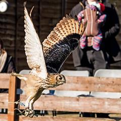 eagle owl Indian (JOHN BRACE) Tags: huxleys birds prey horsham indian eagle owl bubo bengalensis