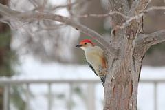 091. Woodpecker (Misty Garrick) Tags: arboretum universityofminnesotalandscapearboretum landscapearboretum flowershow bird birds birding