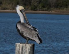 Calcasieu Point-1098 (MSMcCarthy Photography) Tags: bird brownpelican pelican water louisiana southlouisiana msmccarthyphotography nikon nikond500