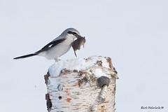 Just a snack.. (Earl Reinink) Tags: shrike predator vole winter nature wildlife northernshrike earlreinink snack