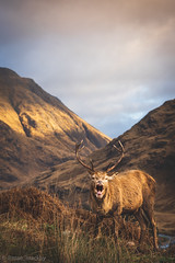 Glen Etive Stag-2.jpg (maemackay) Tags: reddeer red deer scotland visitscotland highlands mountains nature outside outdoors stag antlers rutting sonyalpha sony bealpha alphafemale