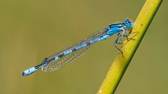 ♂ Enallagma cyathigerum 2019 (jrosvic) Tags: commonbluedamselfly freehand macro entomology enallagmacyathigerum zygoptera odonata damselfly