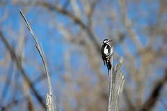 Buntspecht (Jana`s pics) Tags: specht buntspecht vogel tiere wildtiere woodpecker birds animals wildlife wildlifephotography wildtierfotografie natur nature naturfotografie naturephotography tierfotografie animalphotography