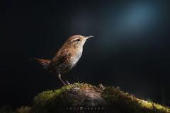 Asoma el chochín entre las sombras (Javier Velázquez Molina) Tags: bird birding nature aves españa naturaleza wildlife