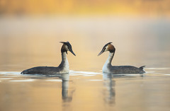 Great Crested Grebe pair (Benjamin Joseph Andrew) Tags: bird waterbird spring lake waterbody freshwater pair duo two courtship display dance love relationship valentines couple romance