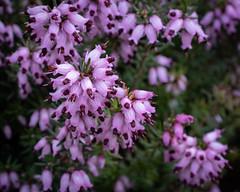 Heather (velodenz) Tags: heather velodenz fujifilmx100f flower garden plant banes bnes england unitedkingdom uk greatbritain gb 1000 views 1000views