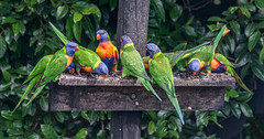 Lorakeet Feeding Frenzy (David Hamments) Tags: bird aquajethotel coffsharbour nswtoqueensland lorakeetfeeding flickrunitedaward