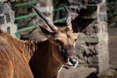Elenantilope (Sylsine) Tags: antilope elenantilope tiere tierpark tierparkhamm zoo