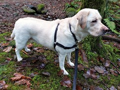 Gracie keeping an eye out (walneylad) Tags: gracie dog canine pet puppy cute lab labrador labradorretriever december winter capilanoriverregionalpark
