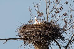 Cigogne - White Stork (Elisabeth Lys) Tags: whitestork stork cigogne nature nantes couëron marais bird nid nikon d7200 sigma 150600mm contemporary