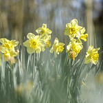 Daffodils thumbnail