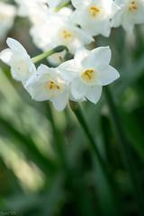 花 (fumi*23) Tags: ilce7rm3 sony fmount 55mm aimicronikkor55mmf28s macro flower plant nikon nikkor a7r3 narcissus 植物 花 水仙 ソニー