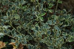 DSC00654- Holly (oliveplum) Tags: poinsettiawishes2018 christmas leica60f28macro sony singapore gardensbythebay flowerdome plant
