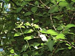 Aberrant Richmond birdwing (Ornithoptera richmondia); Connondale Ranges, December 2005 (sarracenia.flava) Tags: birdwing butterfly ornithoptera richmondia richmond australia queensland sunshine coast connondale range national park