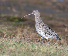 Curlew (Steve (Hooky) Waddingham) Tags: stevenwaddinghamphotography animal countryside coast bird british nature northumberland wild wildlife wader wildfowl planet
