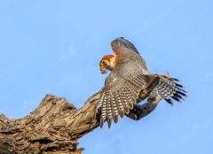 _MG_588s (TARIQ HAMEED SULEMANI) Tags: sulemani tariq tourism trekking tariqhameedsulemani winter wildlife wild birds nature nikon