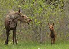 Momma moose and kid...#6 (Guy Lichter Photography - 4.7M views Thank you) Tags: canon 5d3 canada manitoba rmnp wildlife animal animals mammal mammals moose