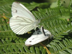 In the throes of passion (Kevin Pendragon) Tags: white passion male female sex display public top bottom fern nature naturephotography insect butterflies mating summer outdoors