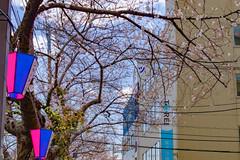 RAW_IMGP4419 (kirinoa) Tags: 横浜市 神奈川県 日本 jp 日ノ出町 黄金町 大岡川 桜