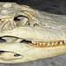 Alligator mississippiensis skull (American alligator) 5