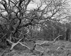 Old Oak, Hyons Wood. Walker Titan SF with Rodenstock 150mm, Delta 100 in Ultrafin (Jonathan Carr) Tags: ancientwoodland tree walkertitansf 4x5 largeformat monochrome blackandwhite rural northeast landscape oak decay